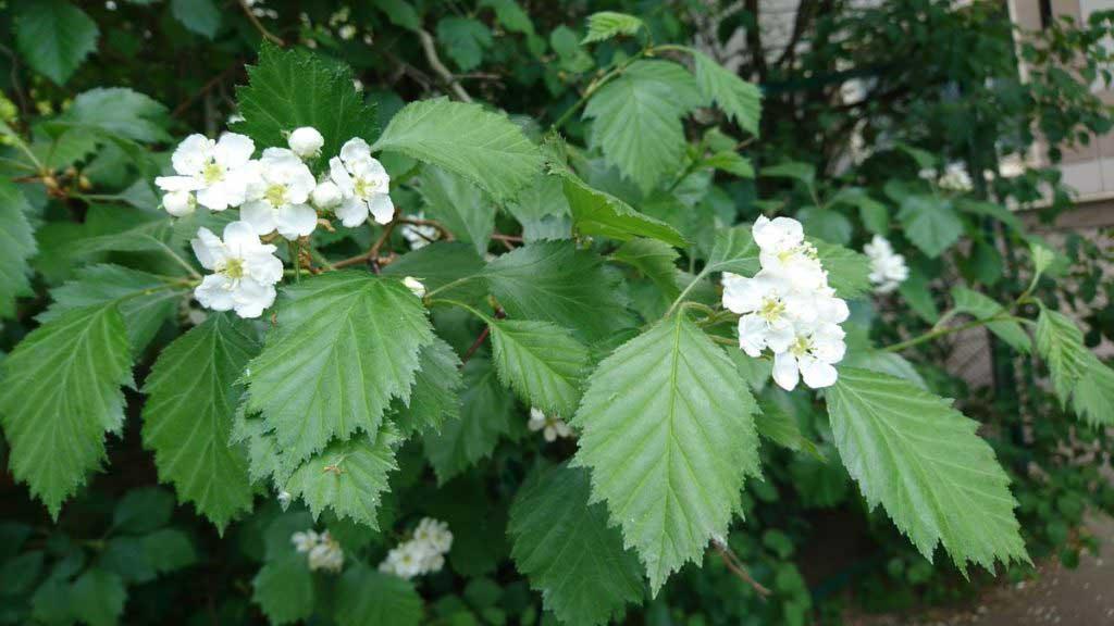 Boyar_Flower